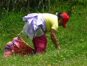 Photo: Picking grasses that cuy like to eat