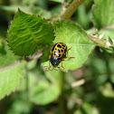 Leopard ladybug