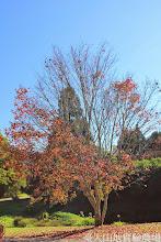 Photo: 拍攝地點: 梅峰-黑水塘旁 拍攝植物: 台灣紅榨楓 拍攝日期: 2014_11_25_FY