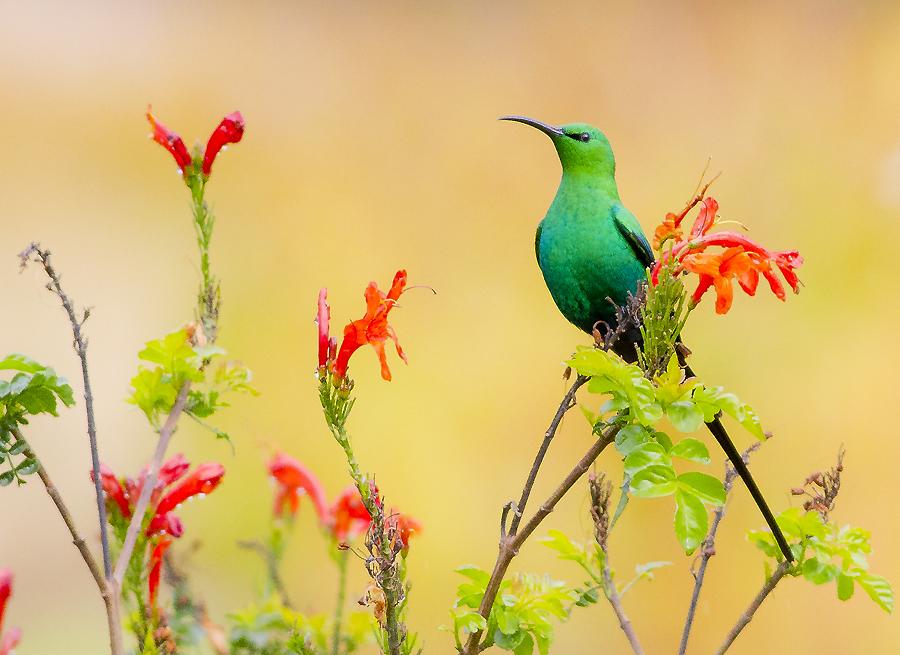 Malachite sunbird by Louis Groenewald - Animals Birds