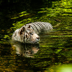 swimmingTiger by Max Ooi - Animals Lions, Tigers & Big Cats
