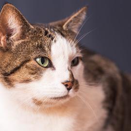 Let me pose. by Susan Pretorius - Animals - Cats Portraits (  )