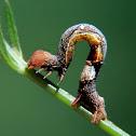 Geometrid moth caterpillar