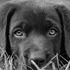 Baby Ryker by Gina Gilsdorf - Animals - Dogs Portraits ( west central mn, gina lee photography, dog, minnesota photographer )
