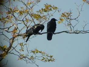 Photo: American Crow allopreen solicit. Ithaca, Tompkins Co., NY, 2 October 2001.  The bird on the left is the 3-year-old offspring of the adult male on the right, and is trying to get him to allopreen.