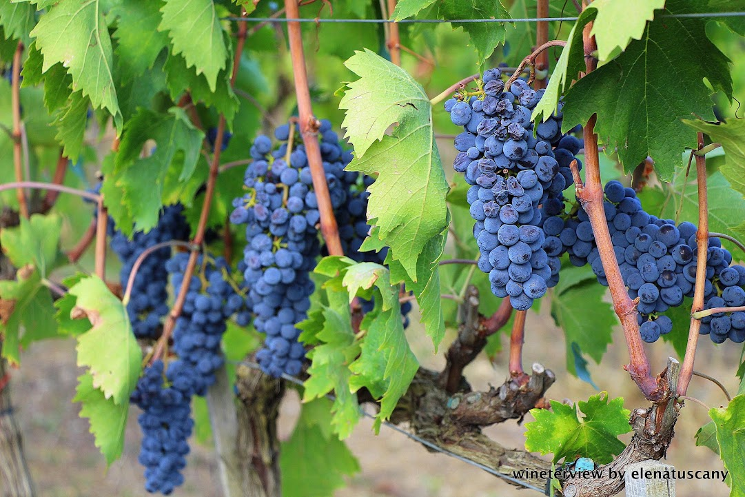 vendemmia, sangiovese, roccapesta, vino rosso, scansano, morellino di scansano, maremma, maremma vino, uva, wine, red vine, sangiovese wine, maremma wine, grape, grape harvest, toscana vino, tuscan wine, vigneto, vine , produzione vino, cantina, wine making, winery