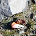 Red-clawed fiddler crab
