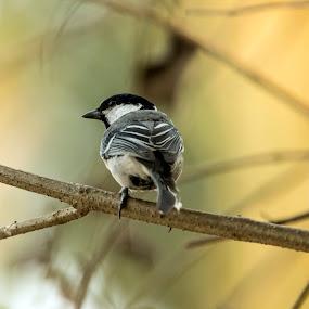 Grey tit by Shovan Sam - Animals Birds ( sigma, nature, birds, west bengal, canon )