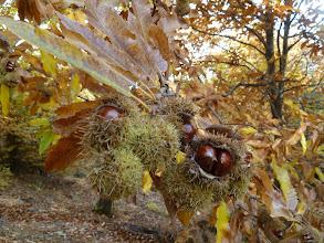 Photo: los castaños ofrecen su fruto