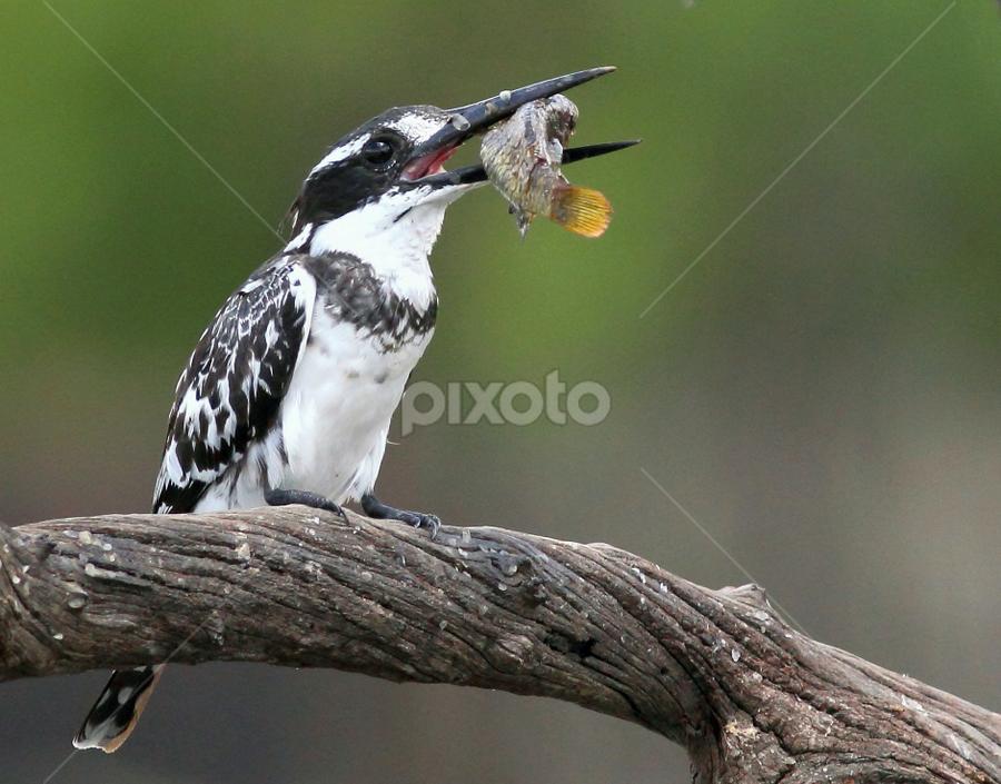Pied Kingfisher by Andrew Keys - Animals Birds ( animals, pied, fish, kingfisher, wildlife, pied kingfisher, africa, birds )