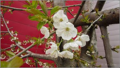Photo: Vișin (Prunus cerasus) - Piata 1 Decembrie 1918, spatiu verde , zona BIG - 2019.04.06