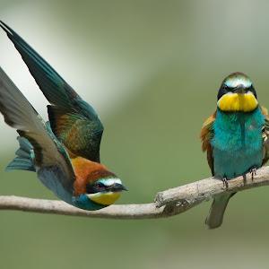 D:\01 GALERIJA FOTO\01 ptice\Čebelar - Rumenogrli čebelar - Merops apiaster\pixoto 2015\Merops-apiaster-059.jpg