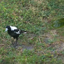 white backed magpie