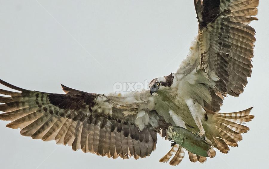 by Ioannis Alexander - Animals Birds ( predator and prey, wings, wildlife, raptor, osprey,  )