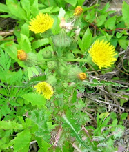 Photo: Common Sow-thistle, 6.28