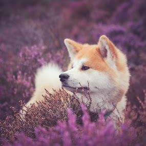 Nami the Akita by Magdalena Sikora - Animals - Dogs Portraits ( red akita, akita inu, akita in heather, dog portrait, dog, dog in heather )