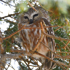 Saw Whet owl by Ed Neu - Animals Birds (  )