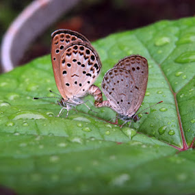 Pale Grass Blue by Sanjib Laha - Animals Insects & Spiders