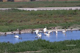Photo: White Pelicans