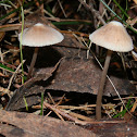 White umbo mycena