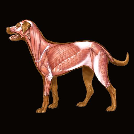 Dog Anatomy : Canine Anatomy