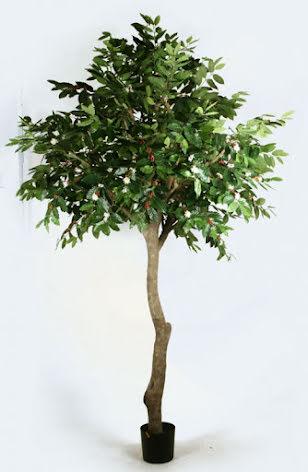 Coffee Tree - 270cm - 350cm