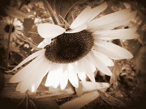 Photo: Sepia photo of a sunflower at Cox Arboretum and Gardens of Five Rivers Metroparks in Dayton, Ohio.