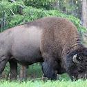 American plain bison