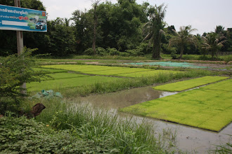Photo: Day 327 - Rice Being Grown in Trays Before Planting Out