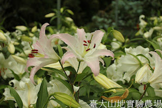 Photo: 拍攝地點: 梅峰-溫帶花卉區 拍攝植物: 百合(馬可波羅) 拍攝日期:2012_08_30_FY