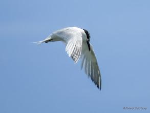 Photo: Sandwich Tern, Newburgh