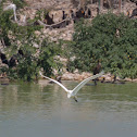 great egret, common egret, large egret, great white egret, great white heron (in flight)