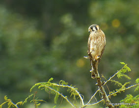 Photo: American Kestrel; Rancho Primavera, near Tuito, Jalisco