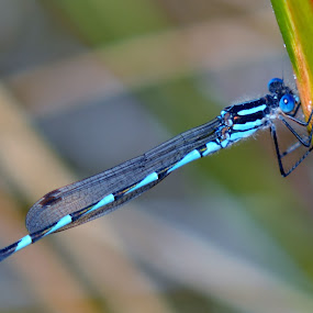 dragonfly by Justine McGrath - Animals Insects & Spiders ( blue, wings, green, brown, black,  )