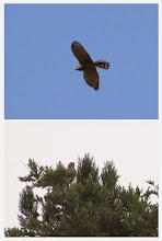 Photo: 撮影者:若狭 誠 サシバ タイトル:サシバが滞留? 観察年月日:2014年9月26日 羽数:3羽 場所:松竹公園西 区分:猛禽 メッシュ:八王子0K コメント:秋のサシバ調査で滞留していると思われるサシバが観察されました。9月20日から観察されています。26日は同時に3羽のサシバが観察されました。木の梢に止まったり上空を旋回していました。右の写真は9月24日に撮影したものでサシバ成鳥のようです。