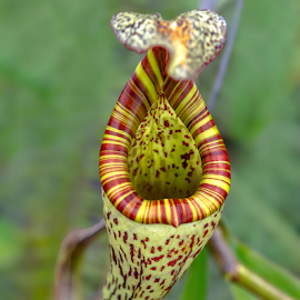 Carnivorous plants  by Albert Lee - Nature Up Close Other plants
