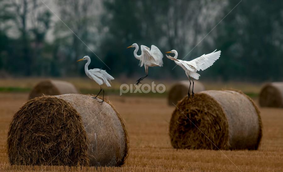 landing sequence by Riccardo Trevisani - Animals Birds ( riccardo trevisani, landing, sequence, wildlife, birdwatching )