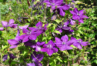 Photo: Clematis 'Amethyst Beauty' Evipo 043