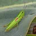 Small Gold Grasshopper