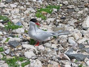 Photo: Arctic Tern, Isle of May