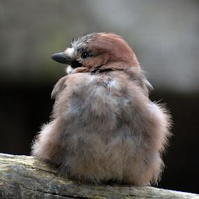Pipsi by Inger Wakolbinger - Animals Birds