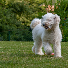 Anyone for badminton? by Lizzy MacGregor Crongeyer - Animals - Dogs Puppies ( canine, shuttlecock, badminton, fluffy, chasing, best friend, puppy, fun, dog, garden )