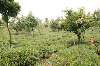 Photo: Mr Shen's Piao I high mountain oolong tea farm.  The drive to the farm is up a narrow, one lane dirt road up the mountain.