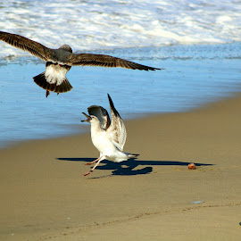 A pair of seagulls have a disagreement on the beach by LaDonna McCray - Animals Birds ( flight, seagulls, flying, birds, disagreements )