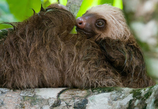 """sloth-in-puerto-limon - Jerry Kirkhart: """"This two toed young sloth was very difficult to photograph because the boat ran up against trees on the shore and the current was pretty strong. They have two toes only on their forefeet, while three on their back feet."""""""