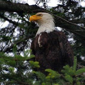 Regal Bald Eagle by Steve Kane - Animals Birds