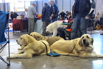 Photo: On the show  - our dogs are not agressive and don´t need to be close in the kennels.
