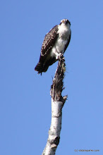 Photo: Eagles can be seen at Waterbury Center State Park