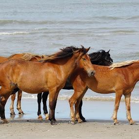 Carova by Ashley Ellis - Animals Horses ( beach, horses, wind )