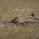Australian Wood Duck (with juveniles)